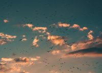 Photo of many birds in a cloudy sky